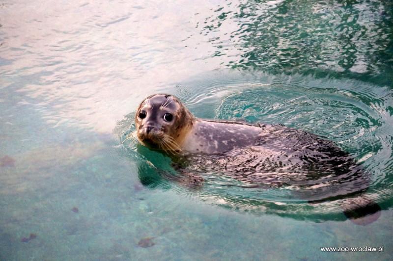 Ogród Zoologiczny Dostał Pod Choinkę Foki Zdjęcia Radio